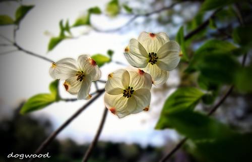 beautiful landscape spring northcarolina dogwood inmybackyard stateflower dogwoodflower dorameulman spring2016
