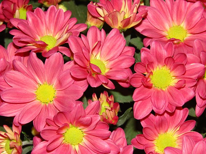 starr-070730-7924-Chrysanthemum_sp-flowers_pink-Foodland_Pukalani-Maui