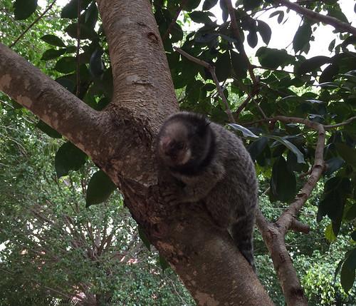 Série com o Sagui-de-tufos-pretos (Callithrix penicillata) - Series with the Black-ear-tufted-marmoset - 15-02-2016 - IMG_0568