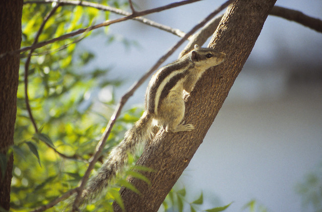 Five-striped palm squirrel (Funambulus pennantii), Diggi Palace Hotel, Jaipur