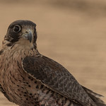 Young falcon portrait II