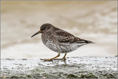 Purple Sandpiper (Calidris maritima) | by Smudge 9000