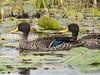Yellow-Billed Duck by Makgobokgobo