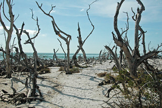 Tree skeletons from 2004's Hurricane Charley (Cayo Costa Island, Florida, USA) 8 | by James St. John