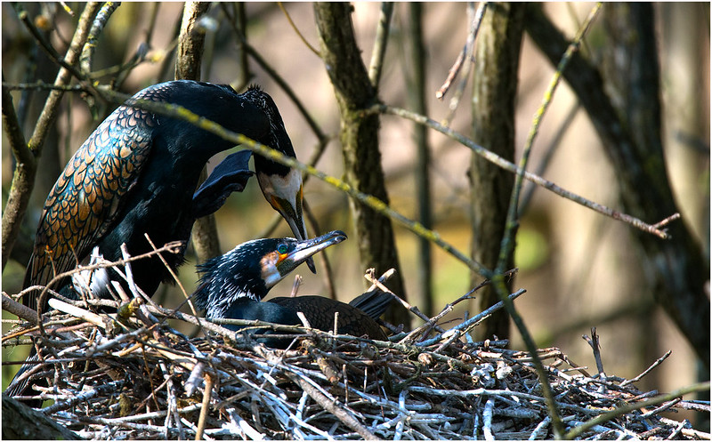 Kormoran couple starting the breeding season