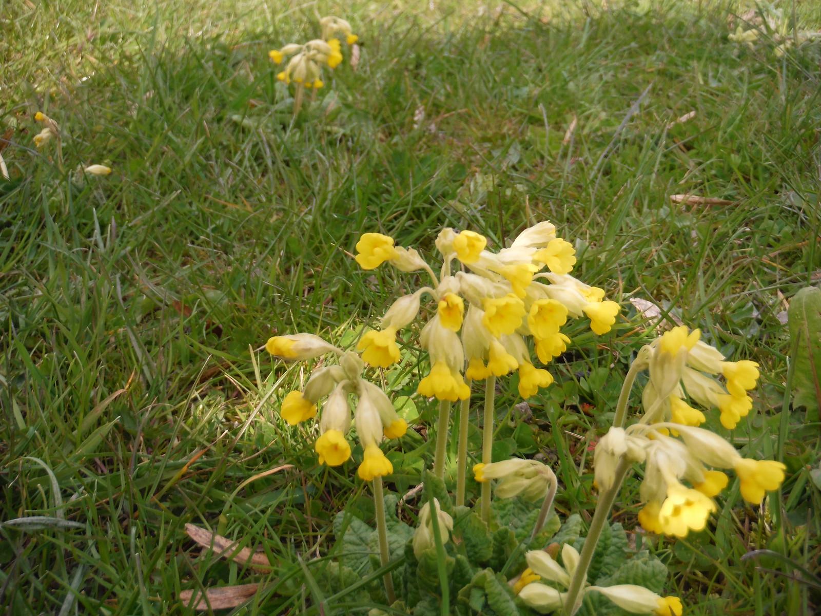 Primrose, Castle Hill SWC Walk 44 - Didcot Circular