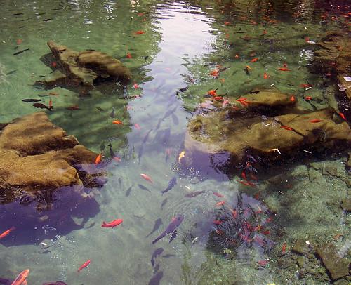 china geotagged 中国 teich shandong jinan fische 鱼 济南 chn goldfische 山东 baotuspringpark 趵突泉公园 geo:lat=3666061300 geo:lon=11700962100