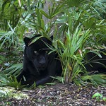 Black Puma  from Mexico