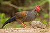 Grey Jungle Fowl by Aravind Venkatraman