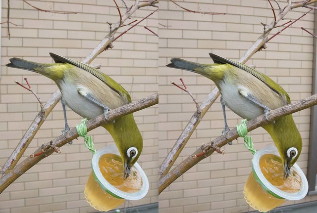 Zosterops japonicus, stereo cross view