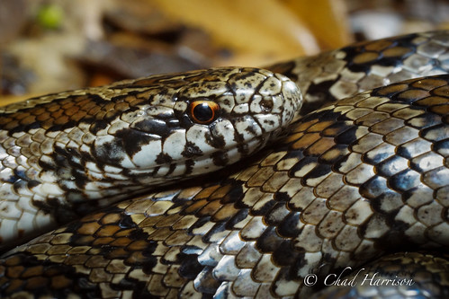 South Florida Mole King Snake | by C. harrisoni