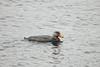 Flightless Steamer-Duck (Tachyeres pteneres) by Sergey Pisarevskiy