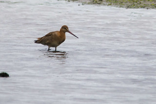 Black-tailed Godwit (Limosa limosa) | by Brian Carruthers-Dublin-Eire