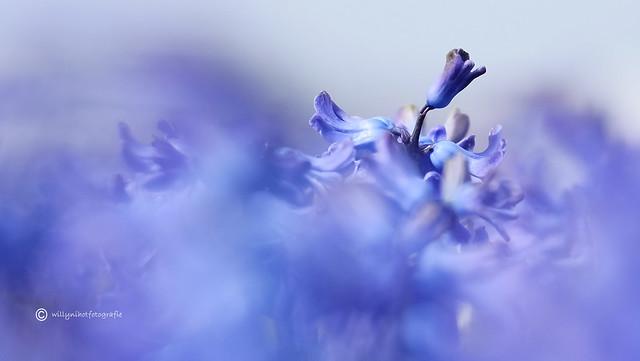 Dansende hyacint...