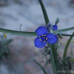 Western Spiderwort