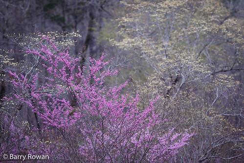 nature landscape spring charlotte northcarolina redbud flowersplants dogwoodtree mecklenburgcounty lattaplantationnaturepreserve