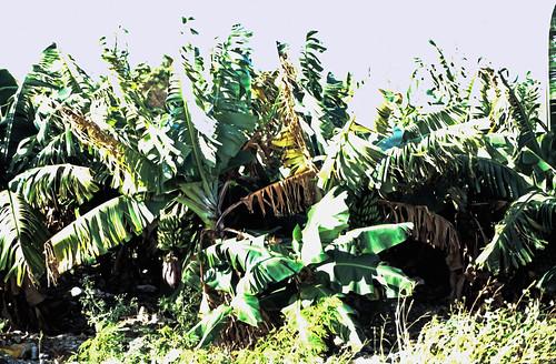deadmanscayairport deadmanscay pflanzen bananen plantage dia scan 1980s slide 1980er diapositivfilm kleinbild kbfilm analog 35mm canoscan8800f 1989 contax137md bahamas longisland nordamerika thebahamas familyislands outislands mittelamerika karibik westindischeinseln amerika insel natur bananenpflanze rüdigerstehn