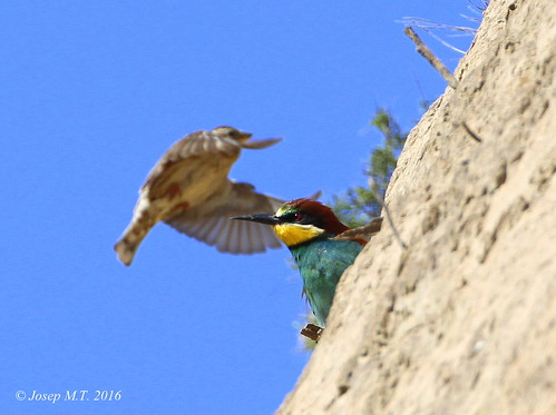 Merops apiaster | by Josep M.Torrents