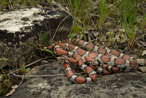 Red Milk Snake | by C. harrisoni