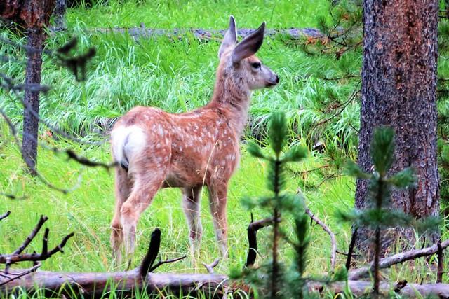 Mule Deer Fawn in the Woods