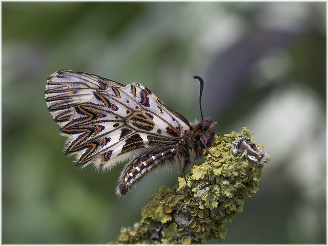 Southern festoon (Zerynthia polyxena)