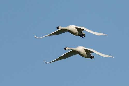 Tundra Swan-9743 | by Guideon72