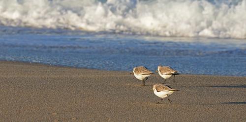birds beach ocean pacific bay wave surf coast coastline shore shoreline sea seaside tidal outdoor sunrise nikon d800 marinabeach statebeach montereybay