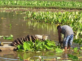 starr-130322-3756-Colocasia_esculenta-harvesting-Hanalei_NWR-Kauai   by Starr Environmental