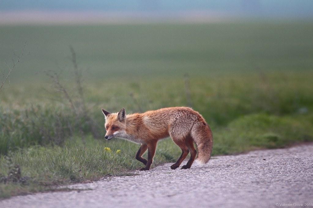wild red fox 4