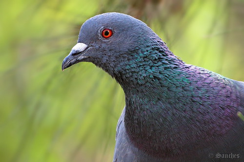 india macro bird nature birds rock closeup neck outdoors eyes pigeon dove balcony wildlife watching birding livia mumbai feral columba