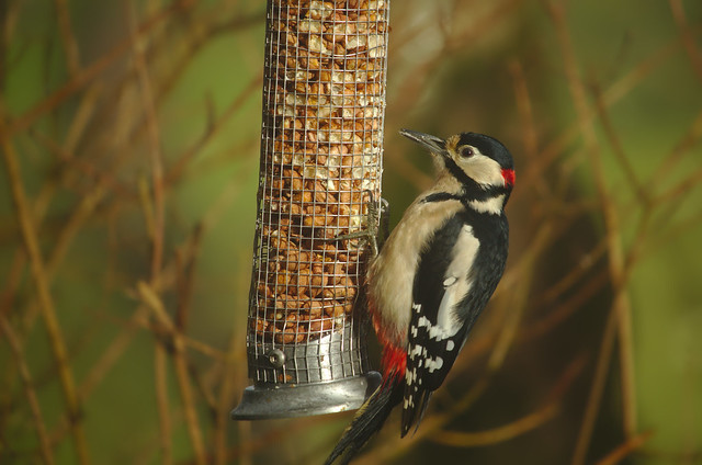 Gribin Woodpecker