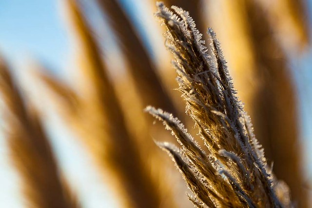 Frosted pampas grass