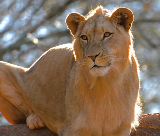 My last lion image this winter.....