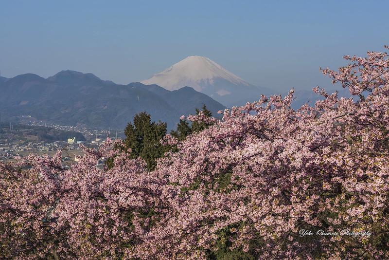 Mt.Fuji & Kawadu-sakura