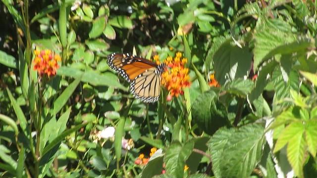 MVI_5911 monarch fluttering on milkweed video