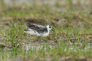 灰瓣蹼鷸  Grey Phalarope | by Hiyashi Haka