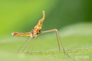 False lanternfly nymph (Dictyopharidae) - DSC_7025