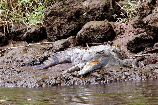 crocodile-jaco-costa-rica_1 (1)
