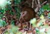 gallirallus sylvestris - lord howe island woodhen by Gary L Warner