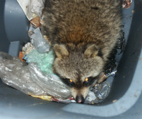 raccoon in the trash can 1 | by crimfants