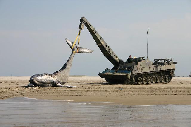 Vlieland - Vliehors - Humpback Whale in crane Leopard II ARV