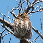 Do, 17.12.15 - 13:11 - Caburré Grande - Austral Pygmy-Owl