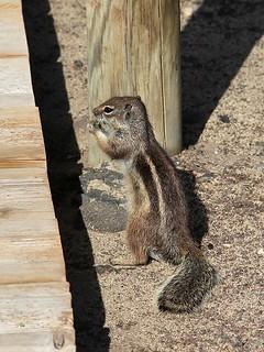 Atlashörnchen | by Fotos.Ralla