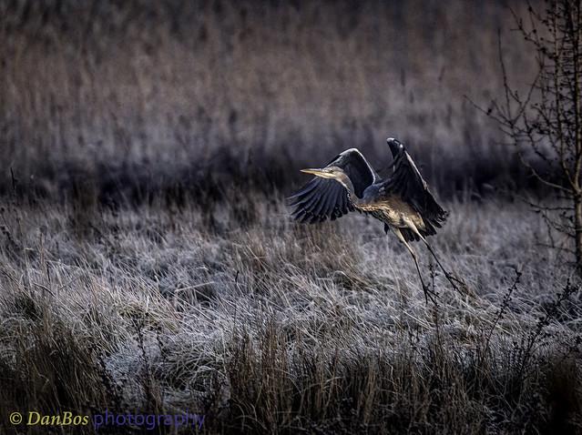 Grey Heron (Ardea Cinerea) in a winter sunrise at Comacchio Lagoon