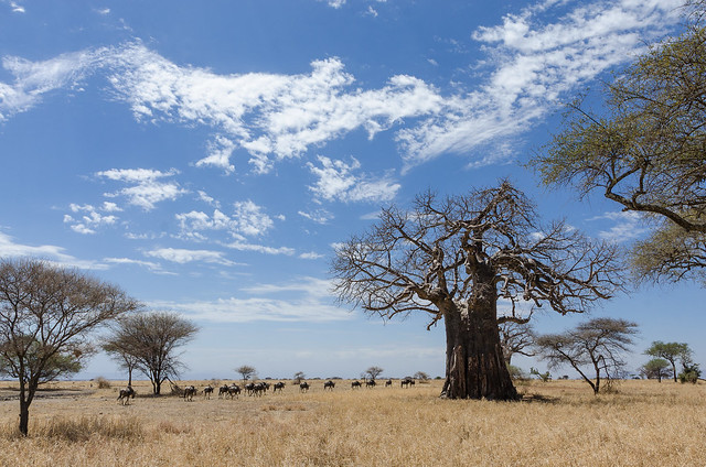 'nother baobab