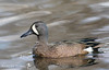 Blue-winged Teal, Anas discors by ashleytisme