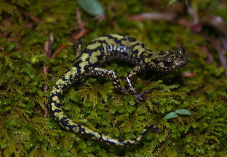 Green Salamander | by adamcooner