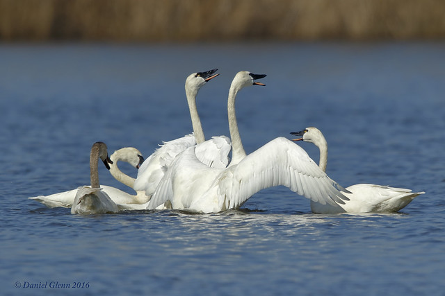 Laughter erupts in the bevy of swans
