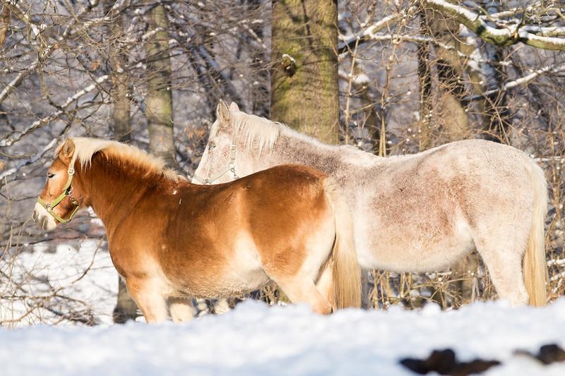 Teamarbeit unter Pferden