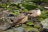 Crested Duck (Lophonetta specularioides) by Sergey Pisarevskiy